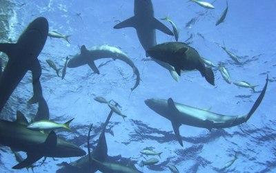 (01.02.2013) Акула в Тирренском море